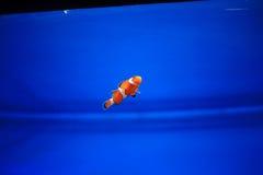 Clownfish или Anemonefish Стоковая Фотография RF