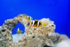 Clownfish или Anemonefish Стоковое Фото