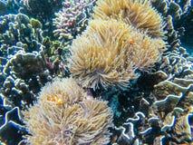 Clownfish и комок ветреницы на острове Больдэра стоковое изображение