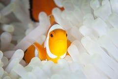 Clownfish и щупальца ветреницы Стоковая Фотография RF