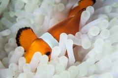 Clownfish среди щупальец ветреницы Стоковое Фото