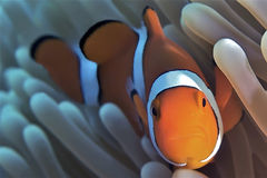 clownfish Obraz Stock