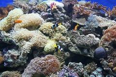Clownfish image stock