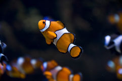 Clownfish Стоковая Фотография