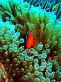 Clownfish Images stock