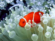 Free Clownfish Stock Photo - 12843650