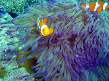 Clownfish Stock Images
