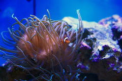 Clownfish. Hiding in a sea anemone Royalty Free Stock Photos