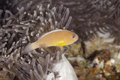 Clownfish. Closeup  of a clownfish and sea anemone Stock Images