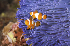 Clownfish. Two Ocellaris clownfish (Amphiprion ocellaris) anda blue sea anemone Stock Photography