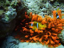 Clownfish Royalty-vrije Stock Foto