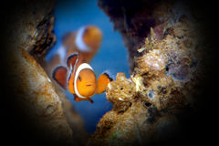 clownfish Obrazy Royalty Free