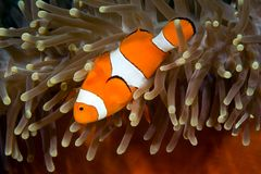 Clownfish   immagine stock