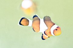 Clownfish. Exotic tropical saltwater fish Stock Photography