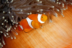 Clownfish. A clown anemonefish swimming in its sea anemone. The anemone is partly closed showing the bright orange skin on the underside Stock Photography