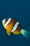 很快的clownfish 免版税图库摄影