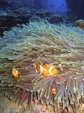 clownfish Arkivbild