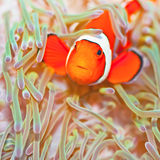 Clownfish. Anemone and Ocellaris clownfish close-up underwater Stock Image