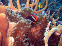 Clownfish Photos stock