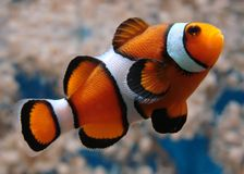 Clownfish stockfoto