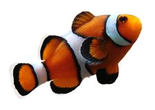 clownfish απομονωμένος Στοκ εικόνα με δικαίωμα ελεύθερης χρήσης
