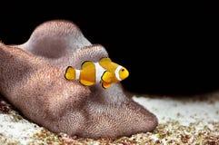 Clownfish Royalty Free Stock Photos
