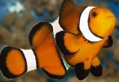 Clownfish fotos de stock