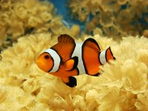Clownfish photos stock