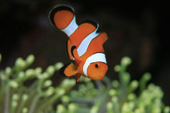 Clownfish Royalty Free Stock Photos