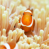 Clownfish Stock Photo