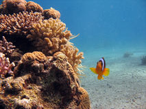 Clownfish. A clownfish. shot in the Red Sea royalty free stock image