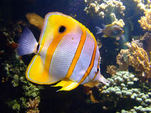 Clownfish Royalty Free Stock Images