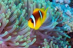 Clownfish Στοκ εικόνα με δικαίωμα ελεύθερης χρήσης