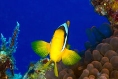 Clownfish Royalty Free Stock Image