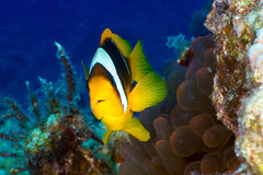 Clownfish Στοκ Φωτογραφίες