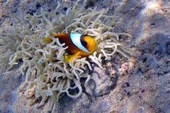 Clownfish Zdjęcia Royalty Free