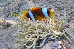 Free Clownfish Royalty Free Stock Photos - 27722188