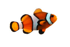 Free Clownfish Stock Photo - 2988350