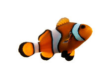 clownfish 库存照片