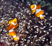 Clownfish Obraz Royalty Free
