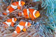 Clownfish Fotos de Stock Royalty Free