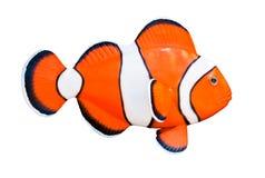 Clownfish. Arkivfoto