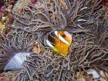 Clownfish1 Immagine Stock Libera da Diritti