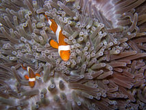 Clownfish3 Stockfoto