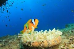 Clownfish Στοκ Φωτογραφία