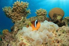 Clownfish Στοκ Εικόνα