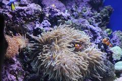 Clownfish 库存图片