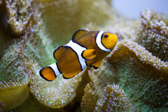 Clownfish Stock Foto's