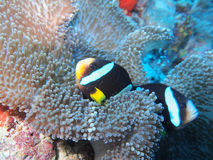 Clownfish Imagem de Stock Royalty Free
