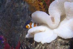 Clownfish Foto de archivo libre de regalías
